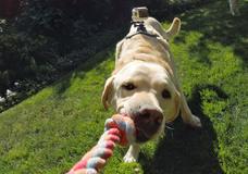 Fetch (Dog Harness)